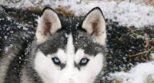 Características físicas y comportamentales del Husky Siberiano