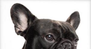 Bulldog francés, la raza que está de moda
