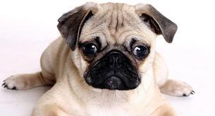 El carlino, un perro muy aristocrático